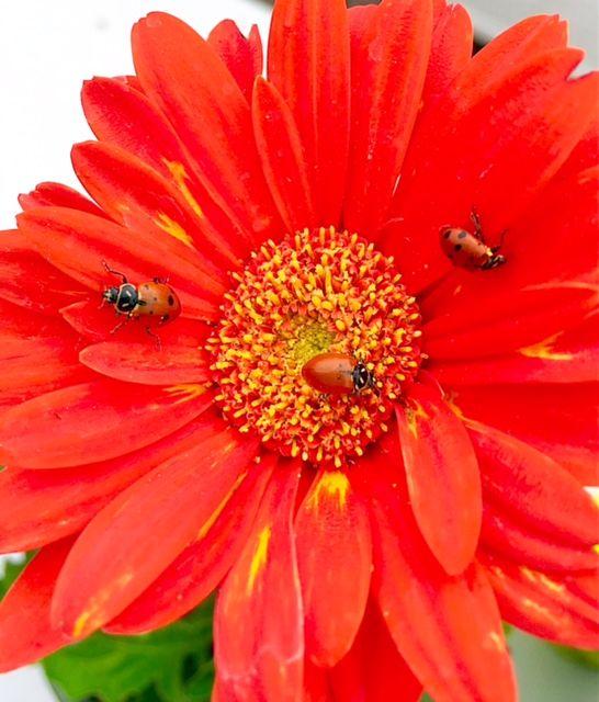 Ladybugs on Flower (photo credit Pike Nurseries)