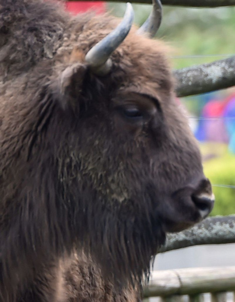 Preview: 3 Europese bizons uit Bellewaerde herontdekken het wilde bestaan in de Karpaten