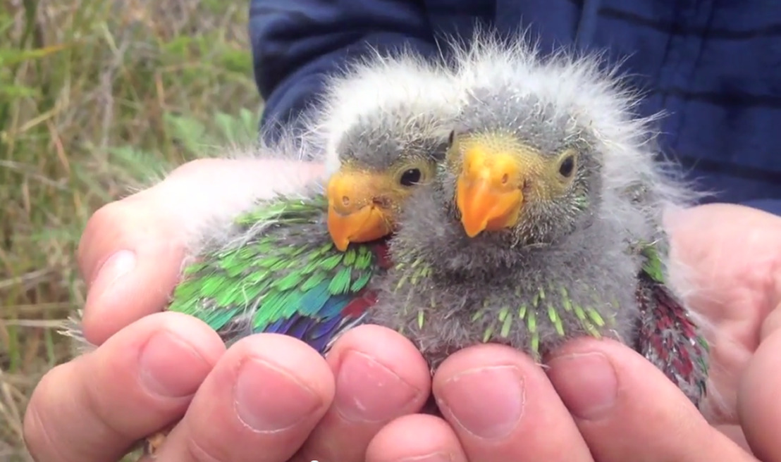 Swift parrots bred on predator-free islands at risk of extinction