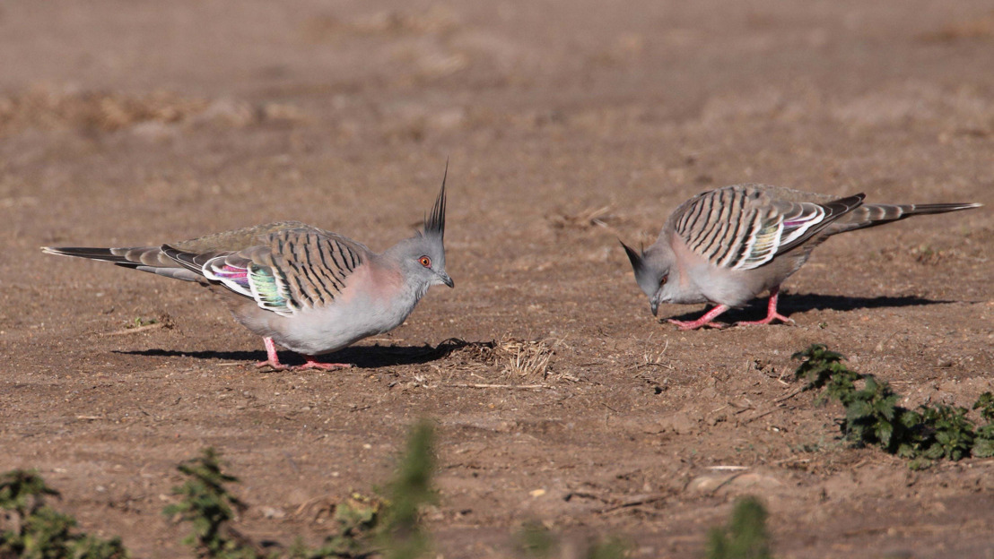 Crested pigeons use mystery feather to signal danger