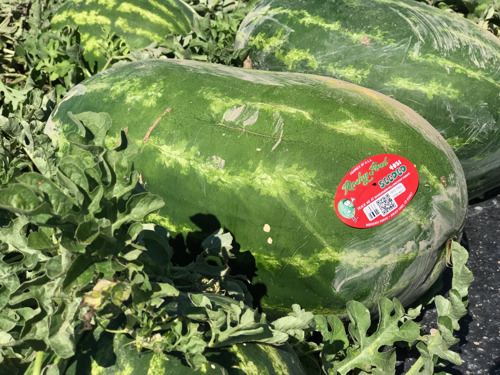 Farming families of the Rocky Ford Growers Association donate 4 tons of sweet and juicy Rocky Ford Watermelon to neighbors in need