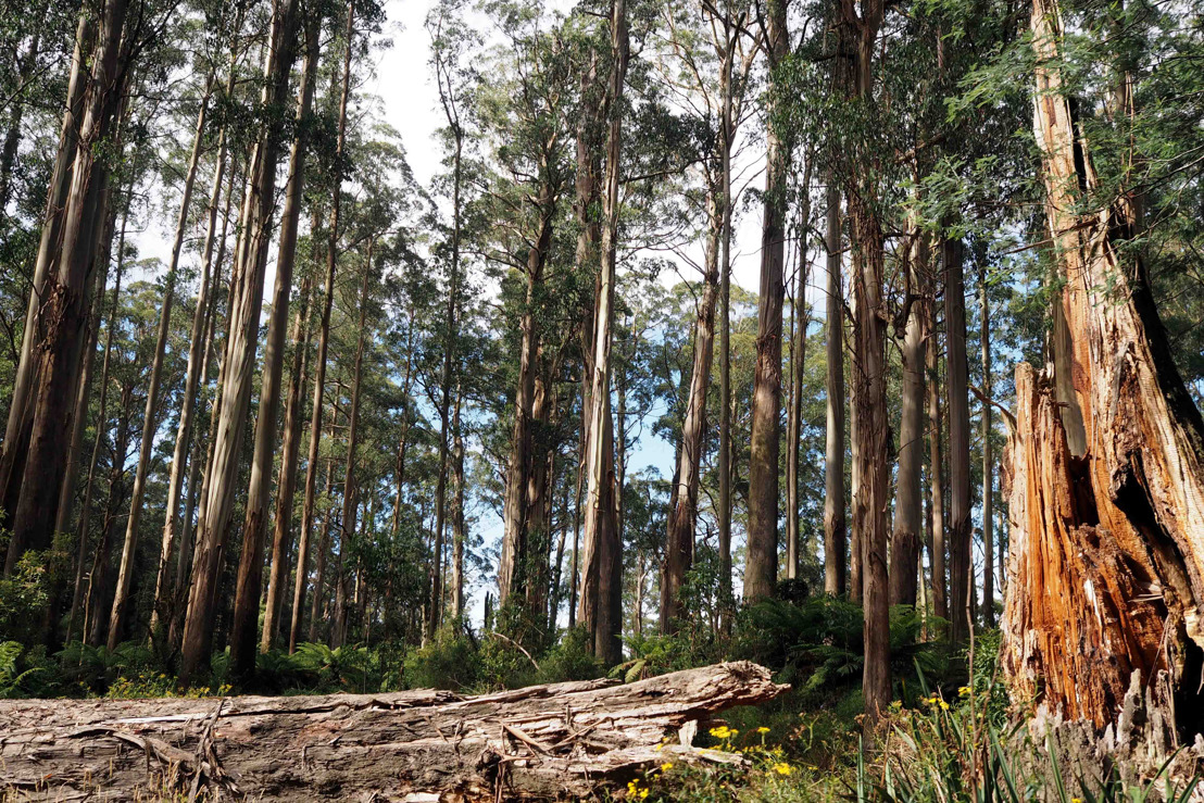 Imminent forest collapse threatens Melbourne's water supply