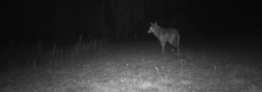 Onderzoek naar verdwijnen wolvin en welpen