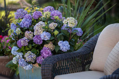 Pike Nurseries provides tips for gorgeous hydrangeas