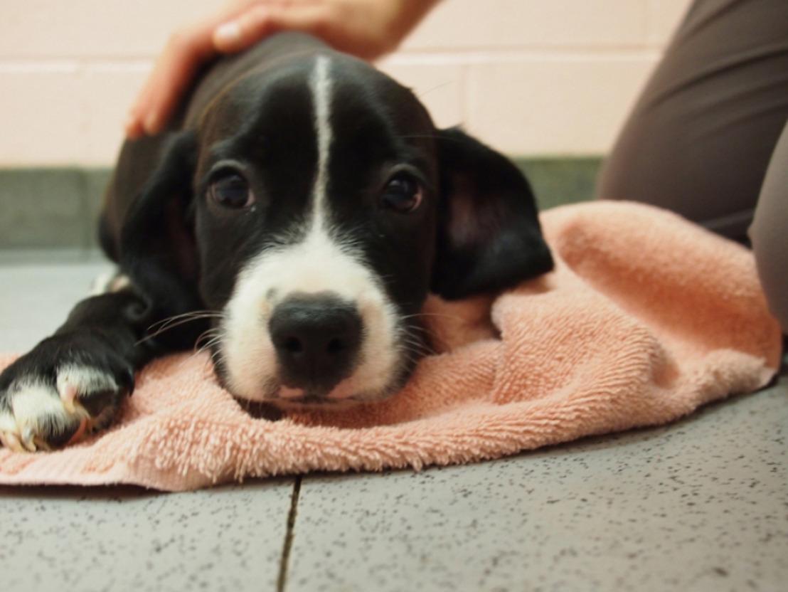 Zaakvoerders Puppy House voor de rechter wegens gesjoemel met jonge, zieke pups uit Oost-Europa