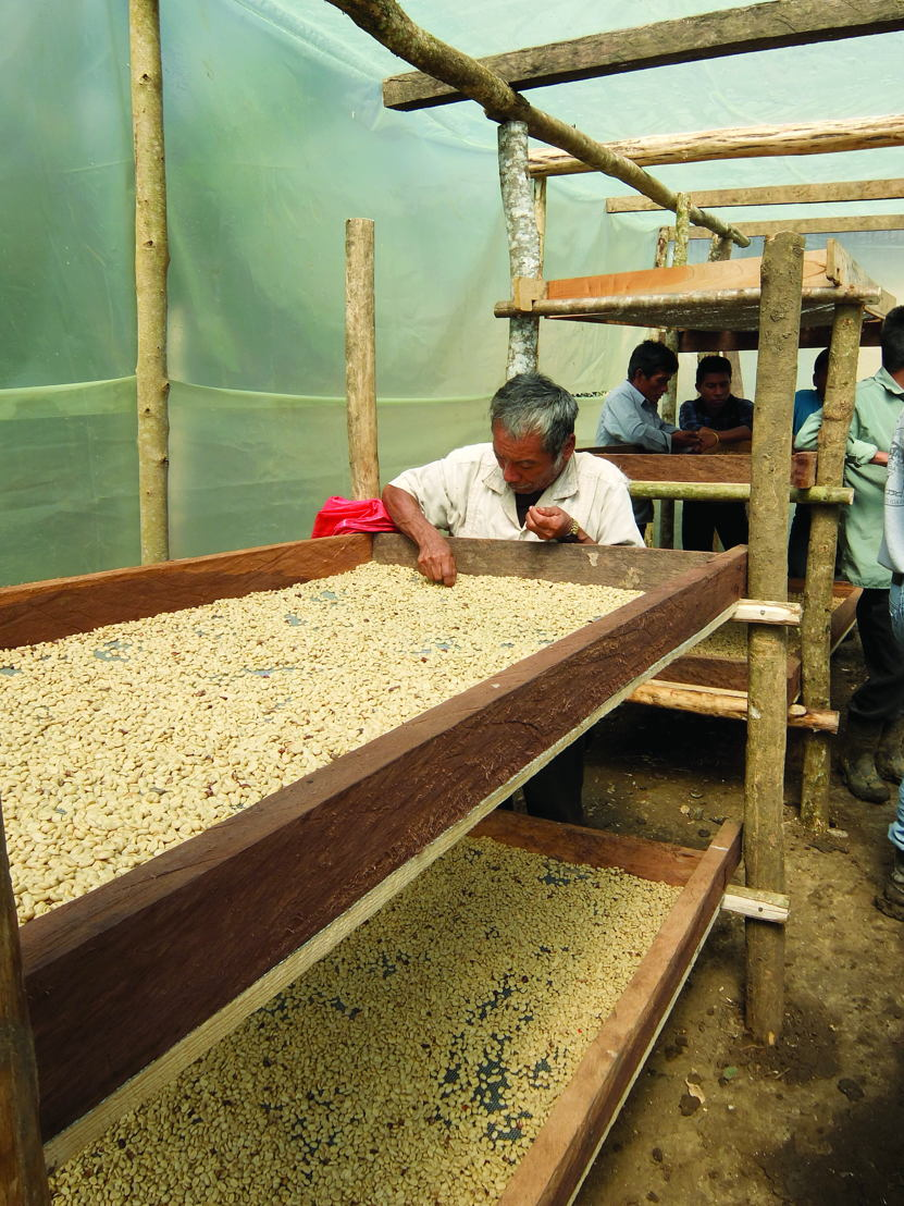 Solar dryers ensure greater yield from the coffee harvest.