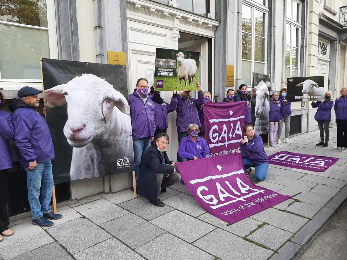 Geen excuses meer! GAIA dringt er bij de Brusselse regering op aan om onverdoofd slachten te verbieden, zonder uitzondering van religieuze riten.