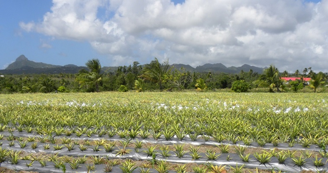 Preventing the propagation of invasive agricultural produce in the Eastern Caribbean