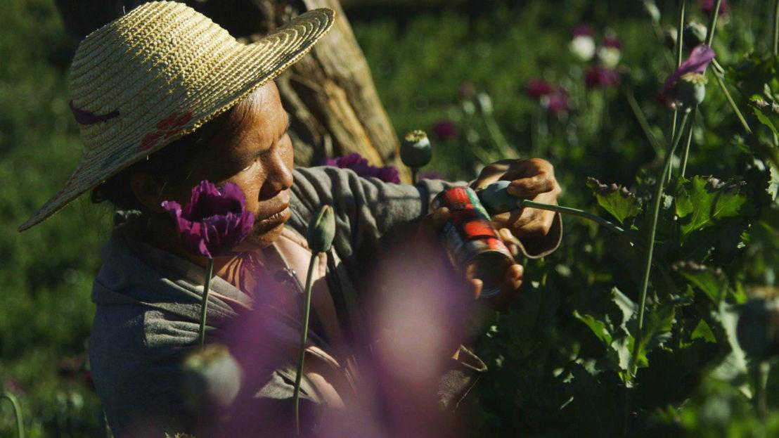 opium poppy farmer at work