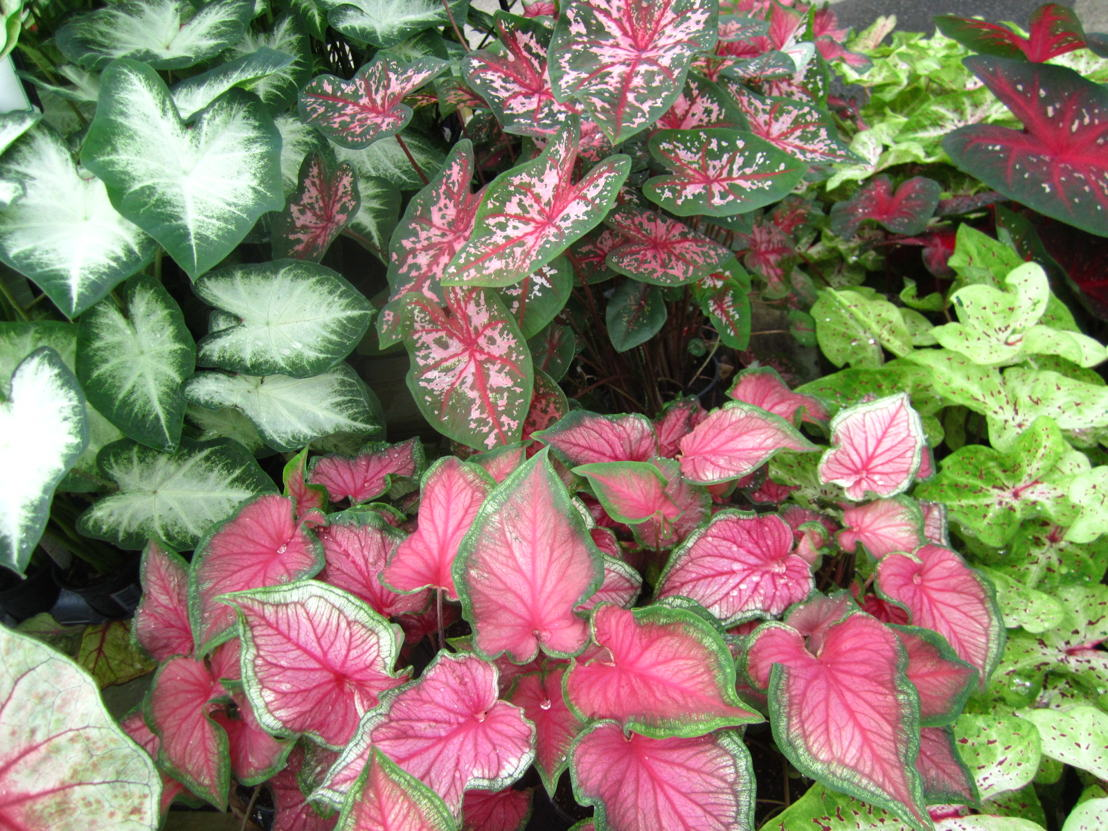 Caladiums (photo credit Pike Nurseries)