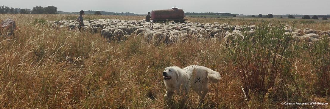 Premier couple de loups en Flandre : pour une bonne cohabitation, des mesures d'aide aux éleveurs sont nécessaires