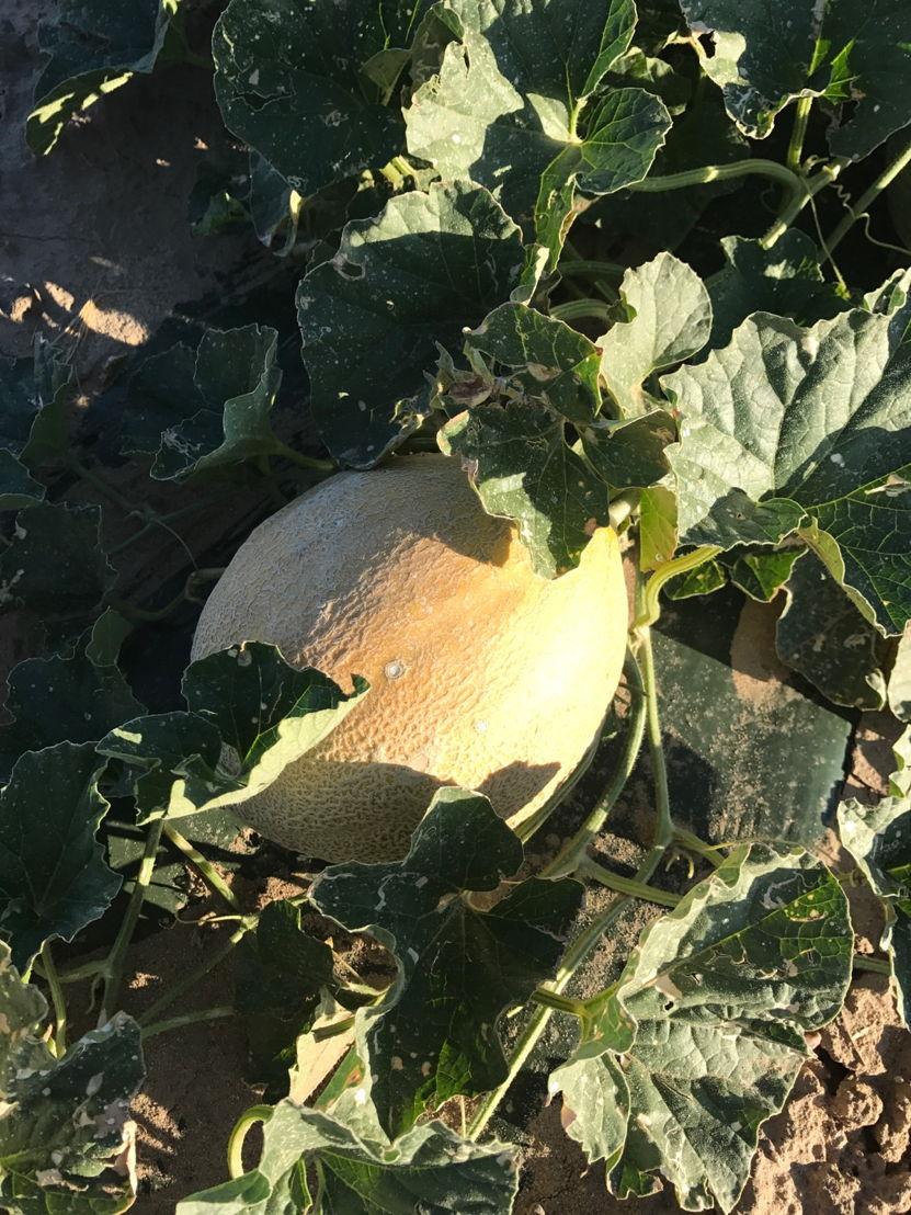 Rocky Ford Cantaloupe ripen in RFGA member grower Knapp Farm's field during 2017 Rocky Ford Cantaloupe season