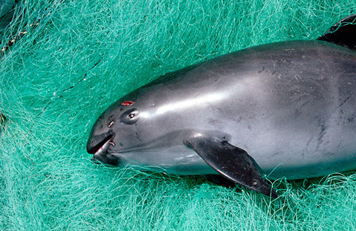 Tijdelijk verbod op kieuwnetten zal vaquita niet redden