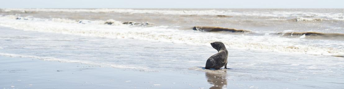 De la ciudad al mar: la historia de un lobo marino rescatado gracias al trabajo en equipo