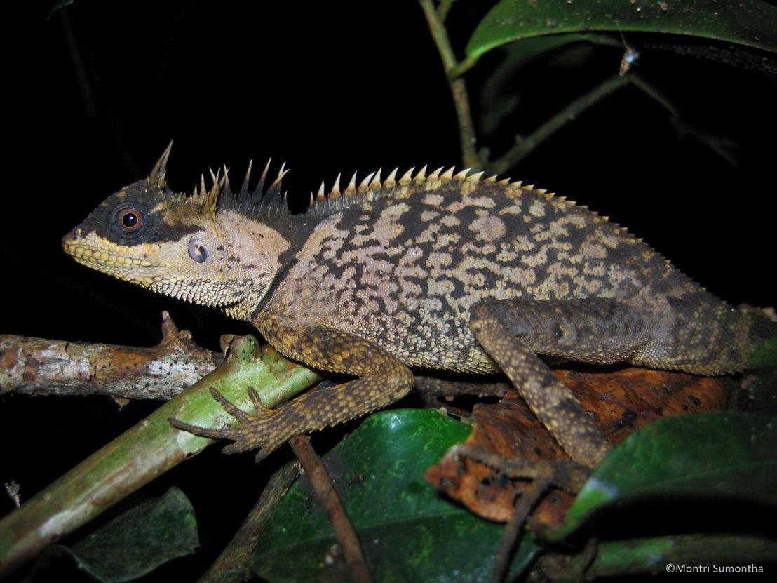 Acanthosaura phuketensis female