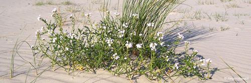 """La coalition """"4sea"""" demande de laisser éclore la flore du littoral, même après le Coronavirus"""