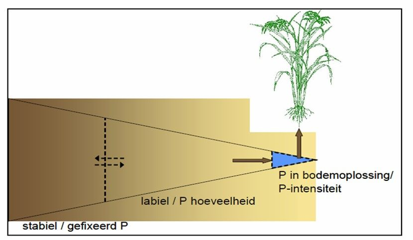 Figuur 1. Schematische voorstelling van de verschillende fosforfracties in de bodem. Enkel de P uit de bodemoplossing is onmiddellijk opneembaar door de gewassen en wordt gevoed door de labiele P-voorraad en door slechts een fractie van de net toegepaste bemesting (uit: Bussink et al. (2011)).