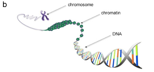 Figure 1. Gene expression (a): The DNA sequence of a gene is copied to make an RNA molecule (transcription), then the RNA sequence is decoded (translated) to build a protein molecule. (b) Inside a cell nucleus, a DNA molecule is packaged by special proteins in chromatin, which makes up a chromosome. Credit: Genetic Code Table, and Diagram of Chromatin from the Wiring Diagram Database