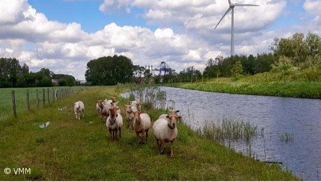De VMM zet in op ecologisch beheer langs de Avrijevaart via schapenbegrazing