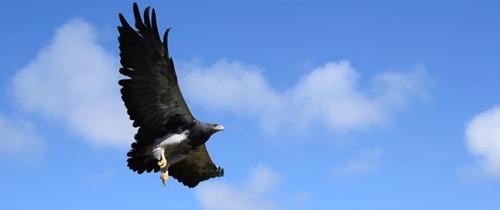Tras dos años de rehabilitación, un águila mora víctima del mascotismo volvió a volar