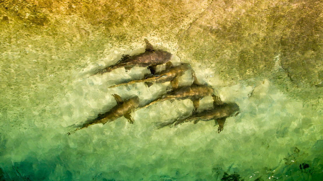 Sharks in formation feeding on fish, Murray Island - Foreign Correspondent, photo credit Greg Nelson