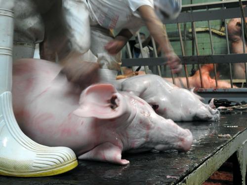Mercy for Animals pide hoy al Congreso a poner fin a la crueldad animal
