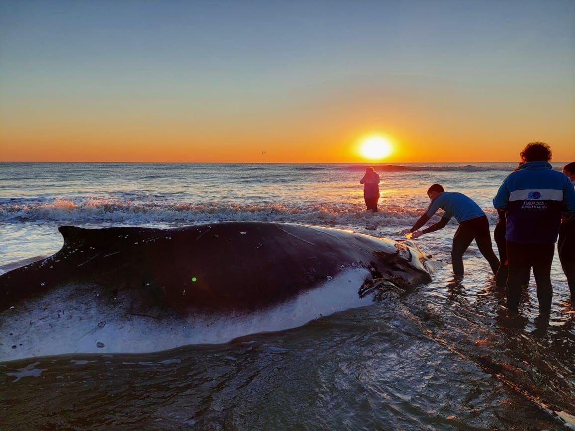 Rescatistas llegan para asistir a la segunda ballena encallada