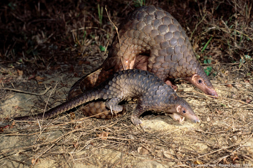 La Chine renforce la protection du pangolin, au même niveau que celle du panda géant
