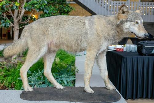Krokusvakantie in het teken van de wolf