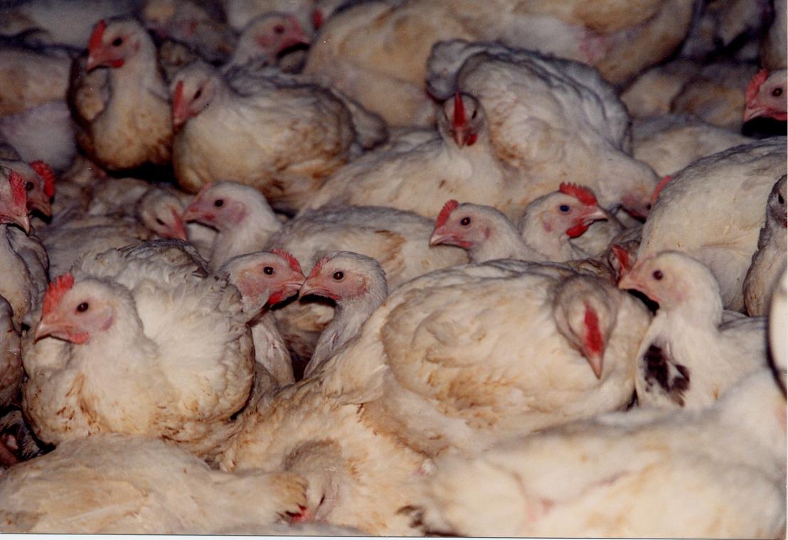 """GAIA: """"Van broeierij tot slachterij is het korte leven van vleeskippen een hel"""""""