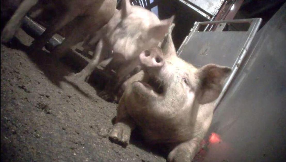 GAIA dient samen met Animal Rights klacht in tegen varkensbeulen in slachthuis Tielt