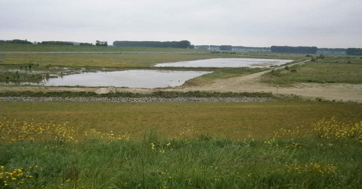 In het Hedwige-Prosperproject krijgt de Schelde meer ruimte door poldergrond terug te geven aan de rivier. Zo kan de getijdennatuur herleven. In de zomer broedden er 75 klutenkoppels in de polder.