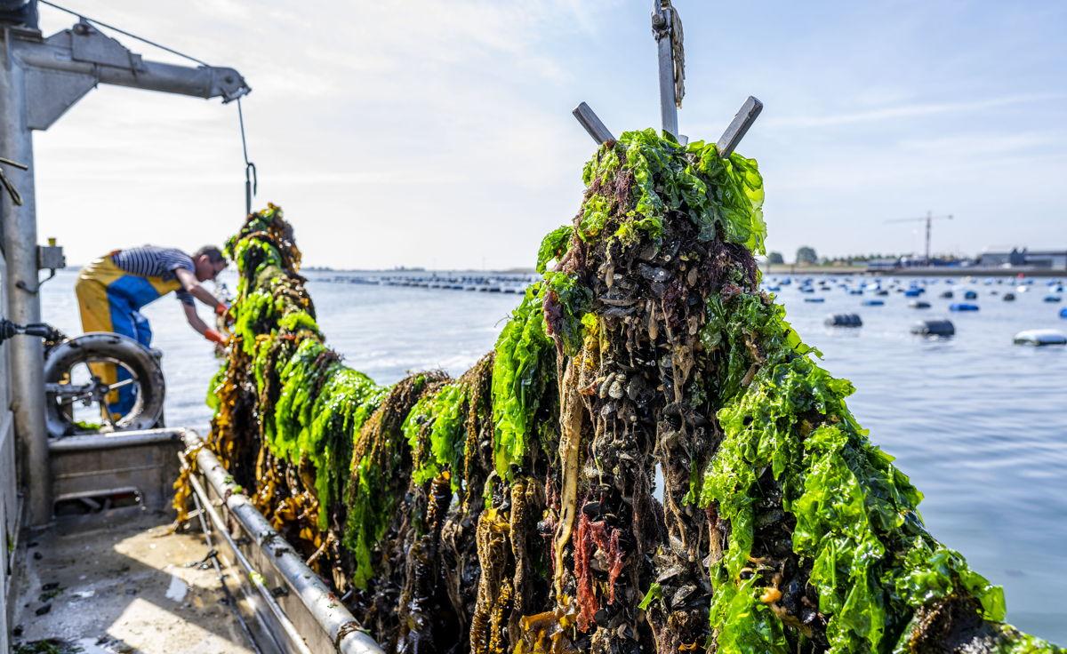 Les premiers bas de moules de corde récoltés en Zélande