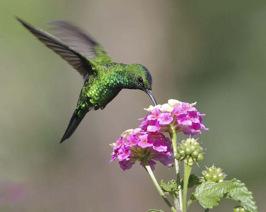 Hummingbird feeding from lantana (photo credit Pike Nurseries)