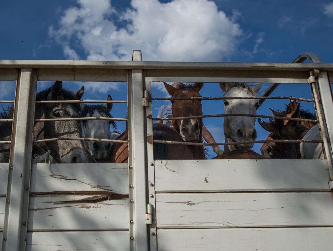 Nieuw onderzoek onthult verfoeilijke afkomst van paardenvlees in Belgische supermarkten