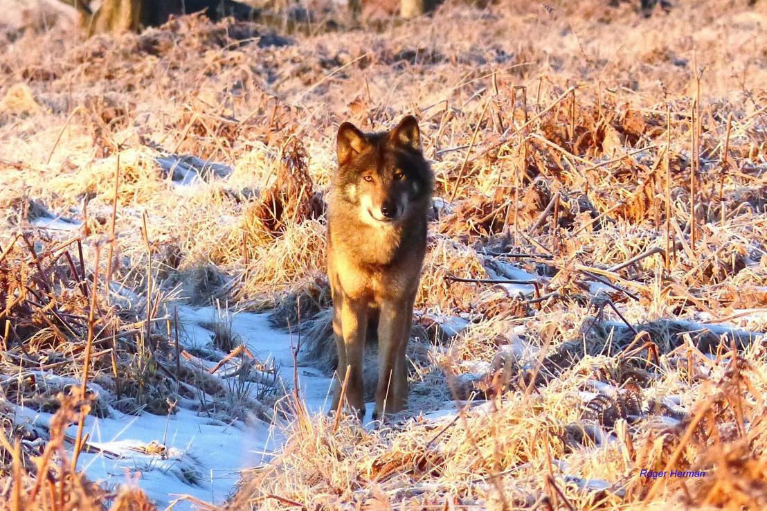 Le loup des Hautes Fagnes aura bientôt un nom