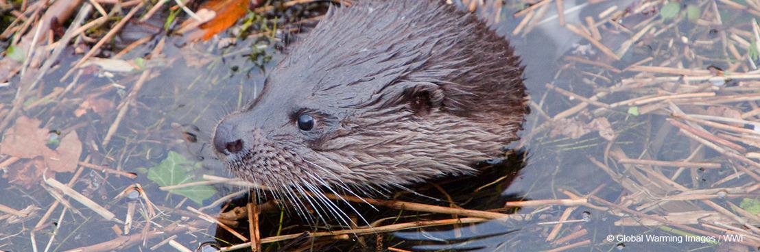 Opnieuw otters in de Scheldevallei, nieuwe studie ziet kansen voor definitieve terugkeer