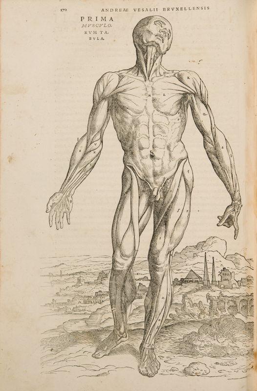 Muscle man in: Andreas Vesalius, De Humani Corporis Fabrica Libri Septem, Basel, 1543 © KU Leuven, University Library, inv. CaaC17 – Bruno Vandermeulen