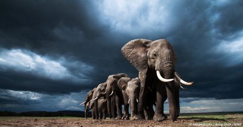 La réunion mondiale sur les espèces sauvages se termine sur une protection renforcée pour certaines espèces et sur des questions en suspens pour d'autres.