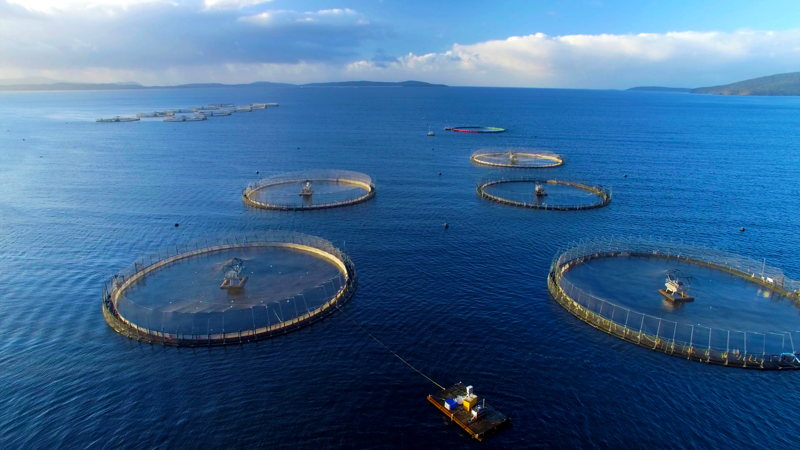 Big Fish: Four Corners investigates the business of salmon farming.