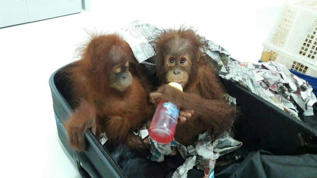 Baby orangutans just after their rescue from a Bangkok taxi (002)