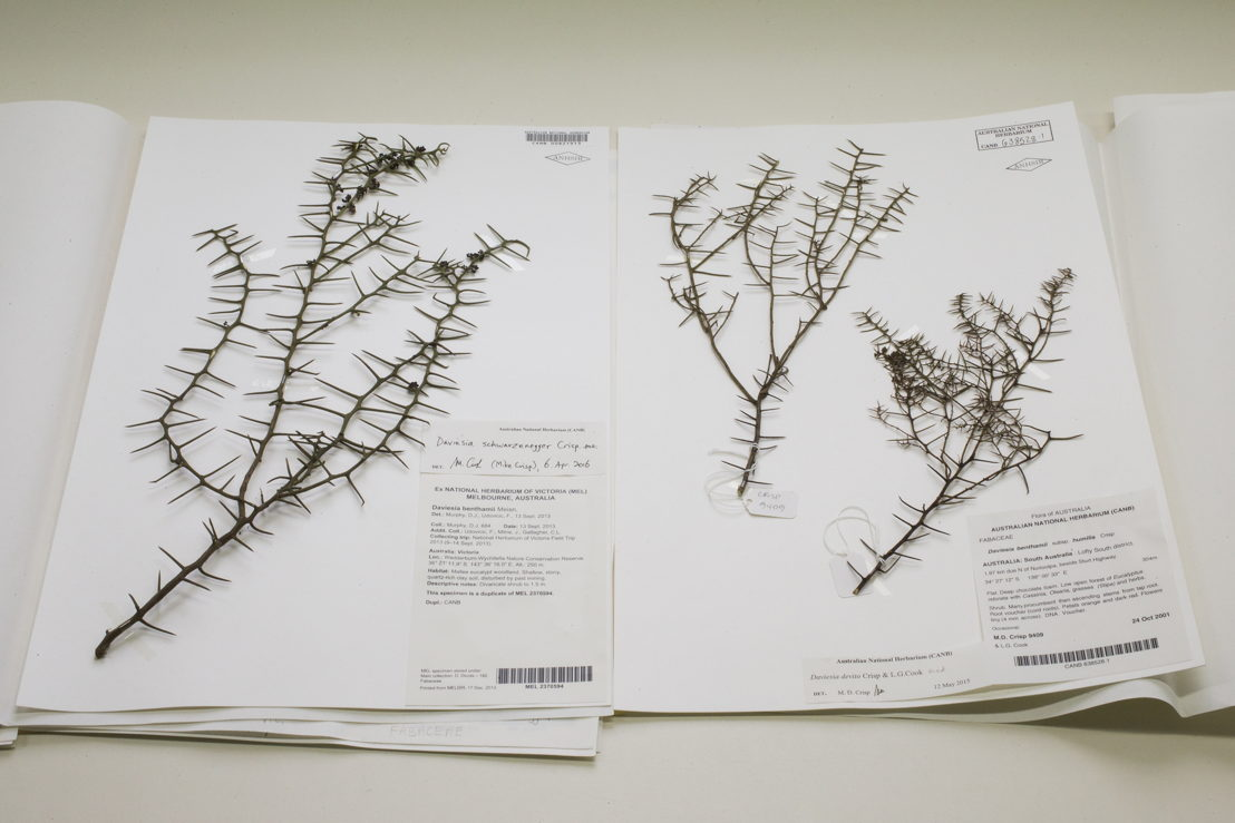 Daviesia schwarzenegger (L) and devito. Image: Stuart Hay, ANU.