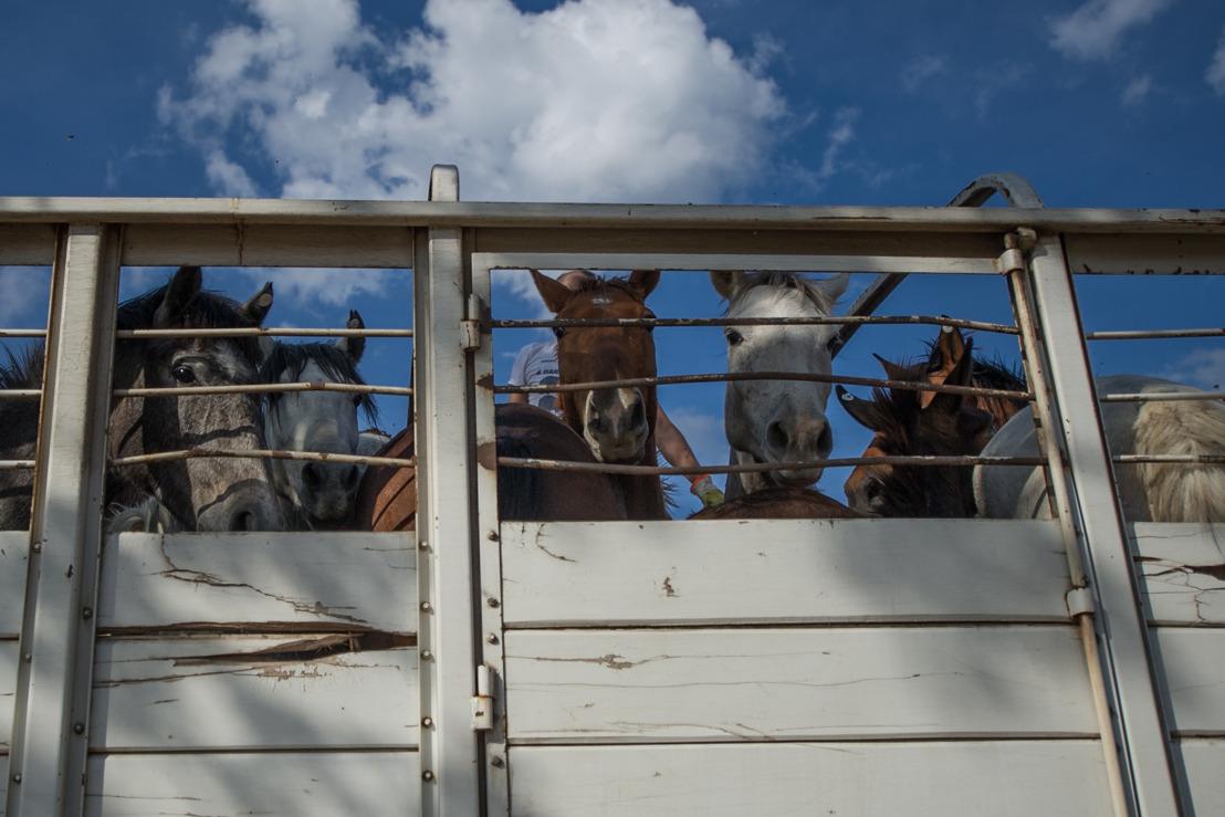 Delhaize stopt met de verkoop van (Latijns)-Amerikaans paardenvlees. Voortaan ligt er enkel nog Europees paardenvlees in de winkelrekken