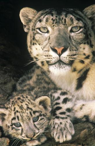 Des centaines de léopards des neiges victimes chaque année du braconnage