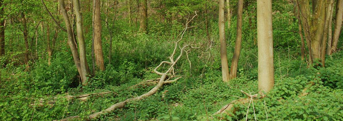 Bosbeheerwerken in de Duinbossen van De Haan