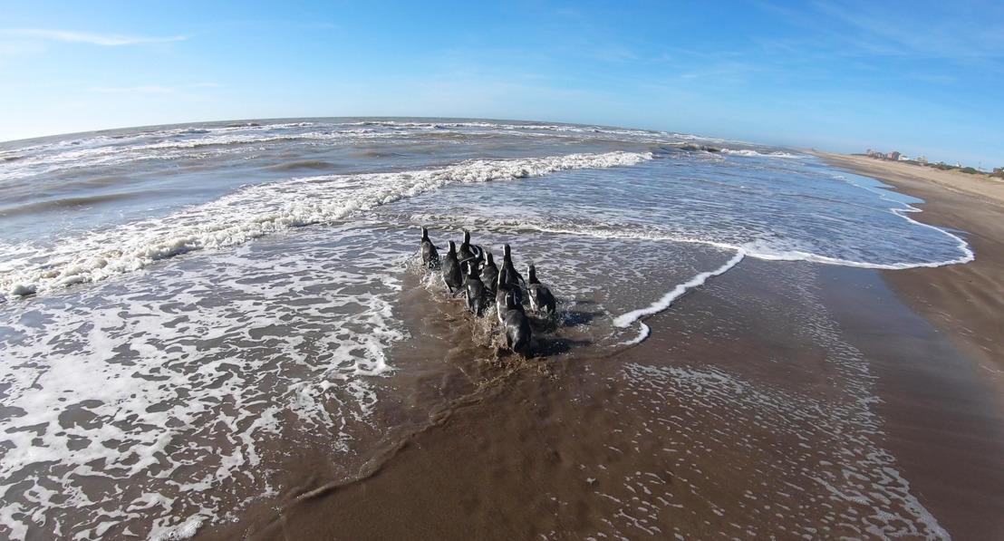 Una buena noticia en cuarentena: diez pingüinos pudieron regresar al mar