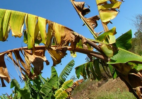 Fusarium Wilt of Banana and Plantain: A Threat to Regional Economies and Food Security