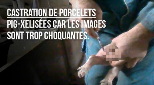 Castration chirurgicale des porcelets : GAIA lance une nouvelle campagne