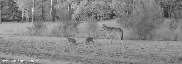 Preview: Jachtverbod in wolvengebied verlengd tot na de zomer