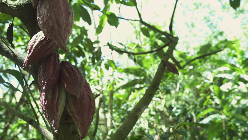 34-Semillas-de-Cacao-Racimo-copy.jpg